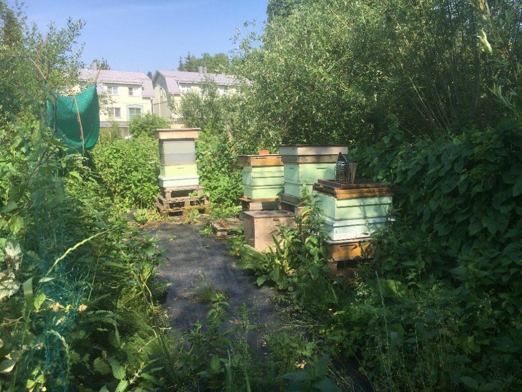 Mehiläiskasvatusta siirtolapuutarhassa.